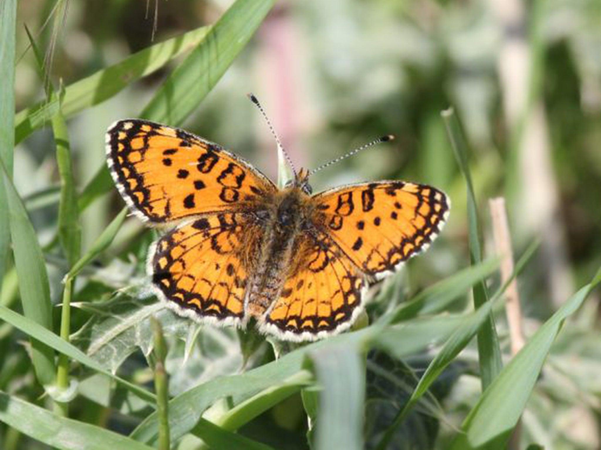 How butterflies are harbingers of hope in war torn iraq the how butterflies are harbingers of hope in war torn iraq the independent buycottarizona