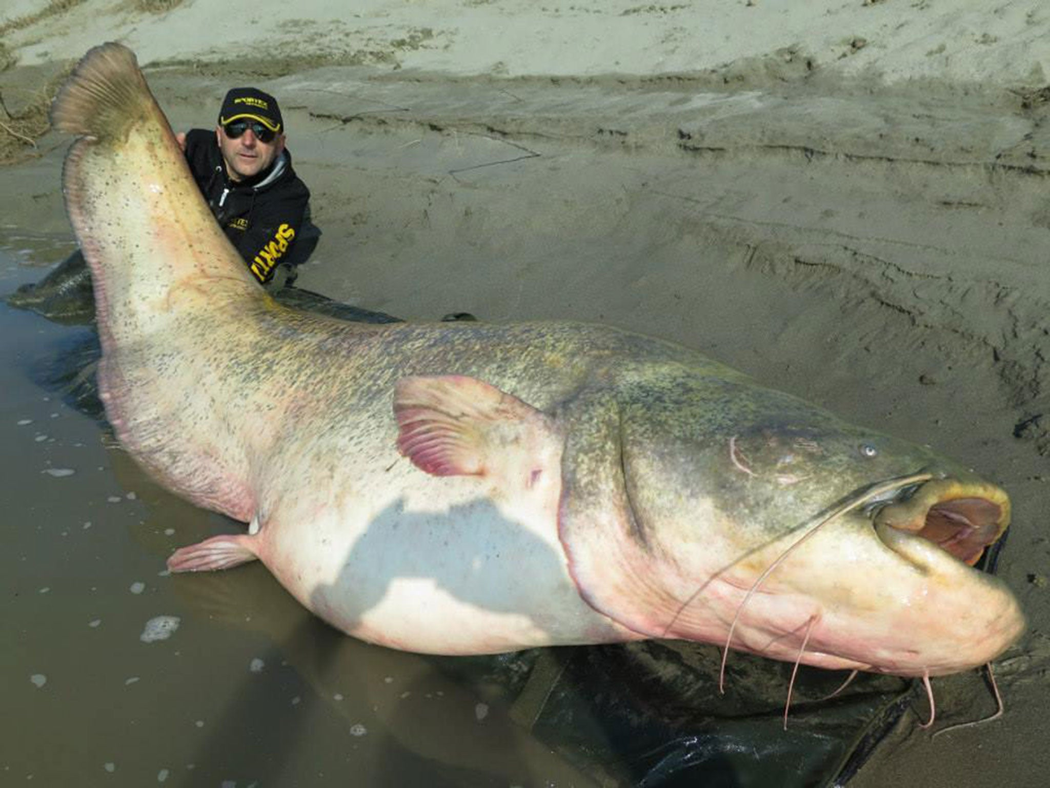 Enormous    stone catfish caught with fishing rod in Italy after    minute boat battle   The Independent The Independent