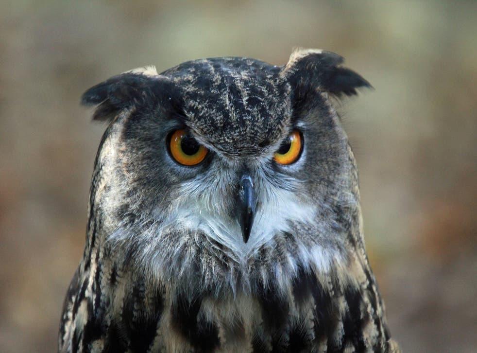 A European Eagle Owl, similar to the one terrorising the residents