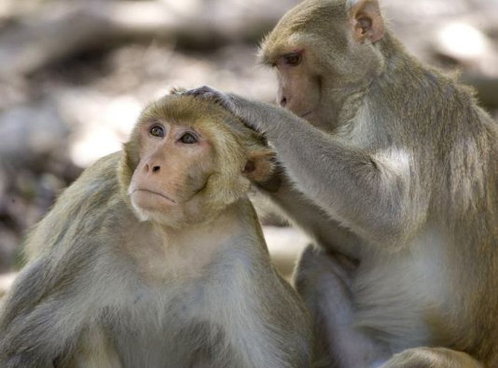 Rhesus macaques are the type of monkey that was exposed to the bacteria