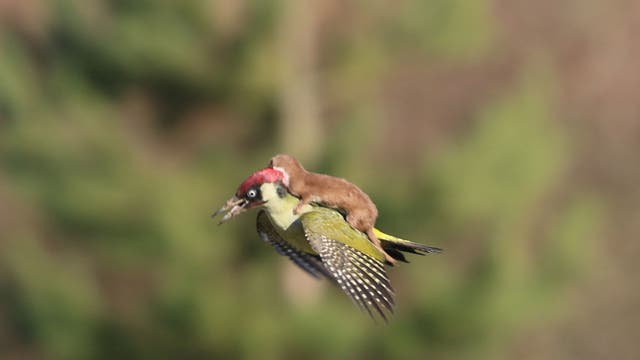 "This picture of a weasel riding a woodpecker is pretty incredible. This is what the amateur photographer who took it, Martin Le-May, has to say about it: ""As I walked, I heard a distressed squawking and I saw that flash of green. It immediately occurred to me that the woodpecker was unnaturally hopping about like it was treading on a hot surface. Lots of wing flapping showing that gloriously yellow/white colour interspersed with the flash of red head feathers. Just after I switched from my binoculars to my camera the bird flew across me and slightly in my direction; suddenly it was obvious it had a small mammal on its back and this was a struggle for life"""