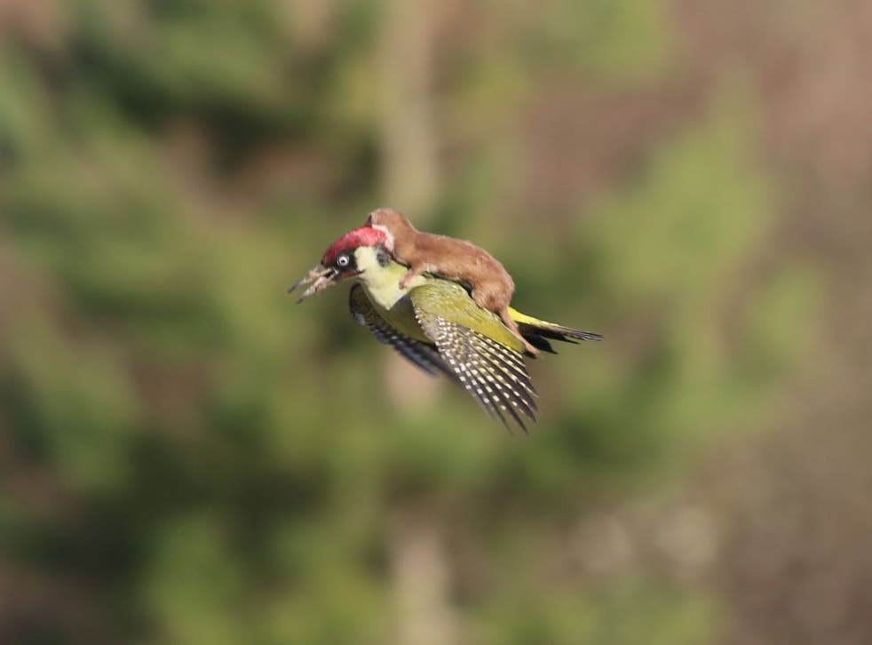 The baby weasel on the back of the woodpecker