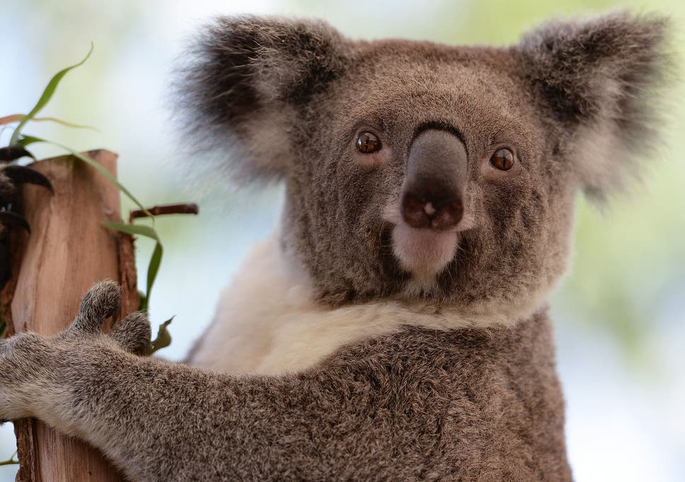 Almost 700 koalas secretly culled in Australia because 'they