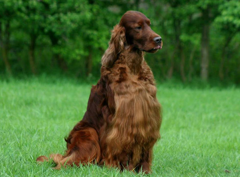 Jagger the Irish Setter was poisoned while competing at dog show Crufts