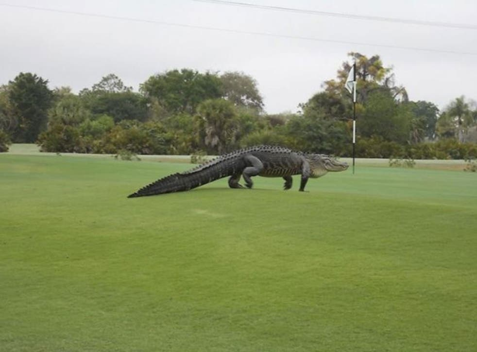 An American alligator estimated to be 12-13 feet long walks onto the edge of the putting green on the seventh hole of Myakka Pines Golf Club in Englewood, Florida in this handout photo courtesy of Bill Susie. Golfers at a course in Florida on Wednesday we
