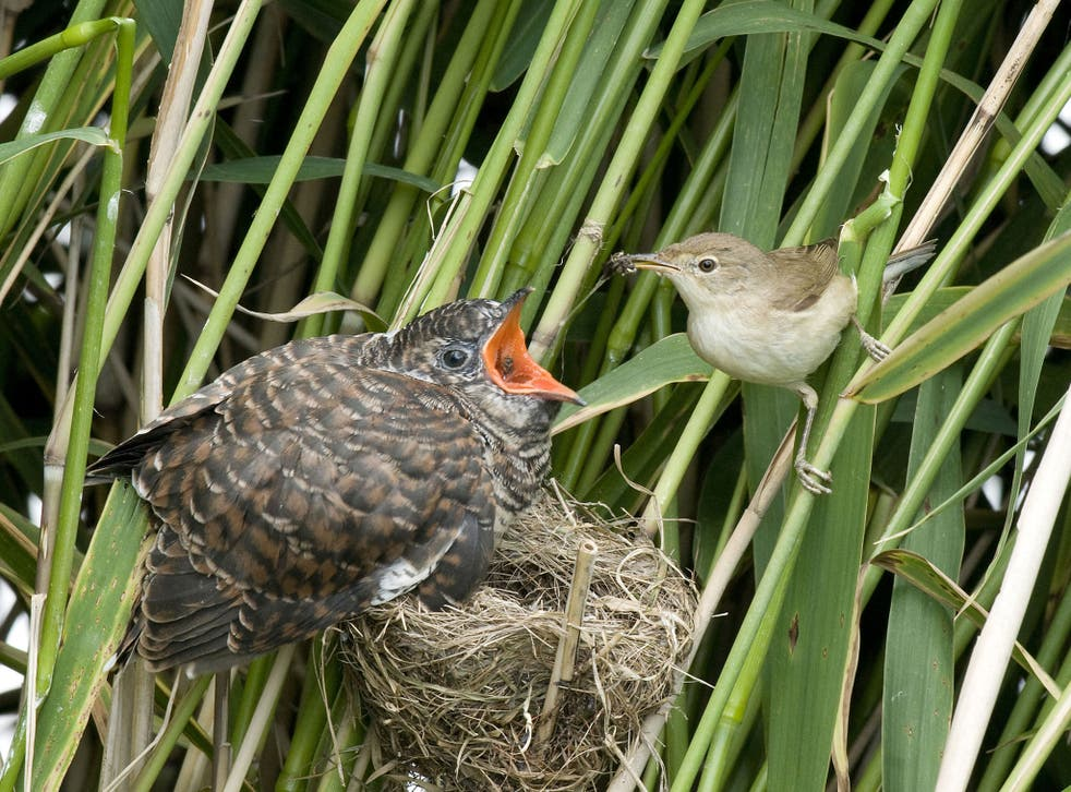 Cuckoos lay their eggs in other birds' nests; here a reed warbler attempts to feed a cuckoo chick already more than twice its size