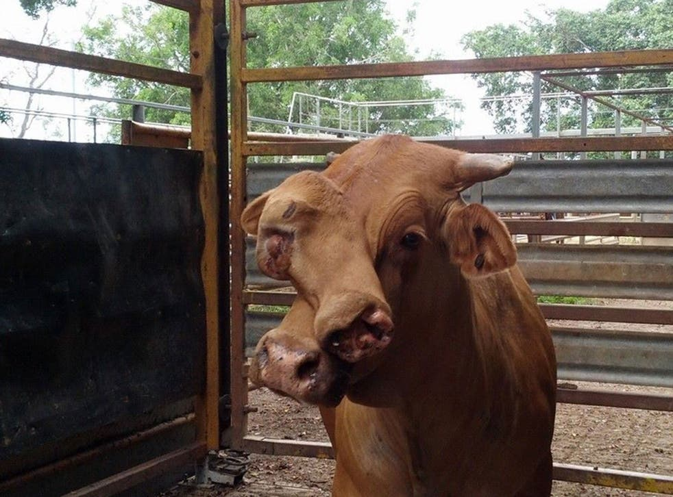 A bull with two faces at a sale yard in far north Queensland, Australia. Mareeba saleyards reports that the bull have two faces, 'second face has an eye, one tooth and working nostrils