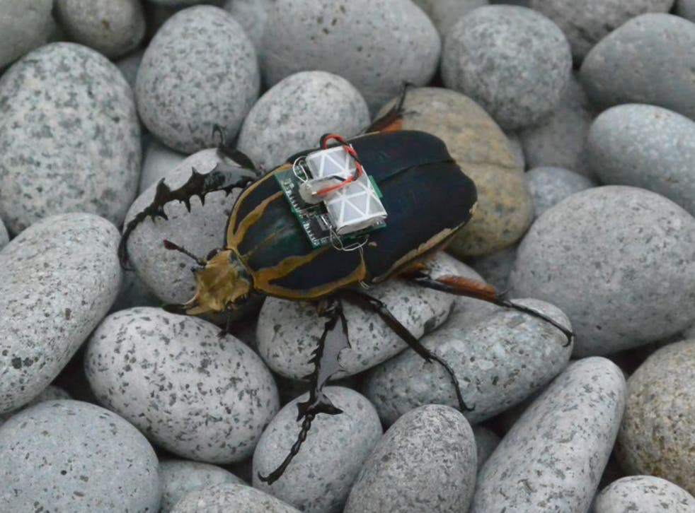 A beetle with a backpack that allows a human operator to control its flight