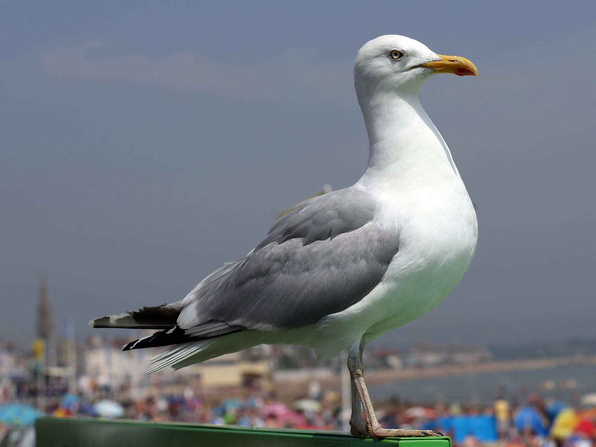 seagulls latest news breaking stories and comment the independent