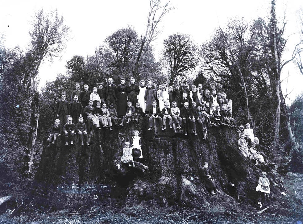 The Fieldbrook Stump, in California, not long after it was felled in 1890. Cuttings from it have been cultivated at the Eden Project
