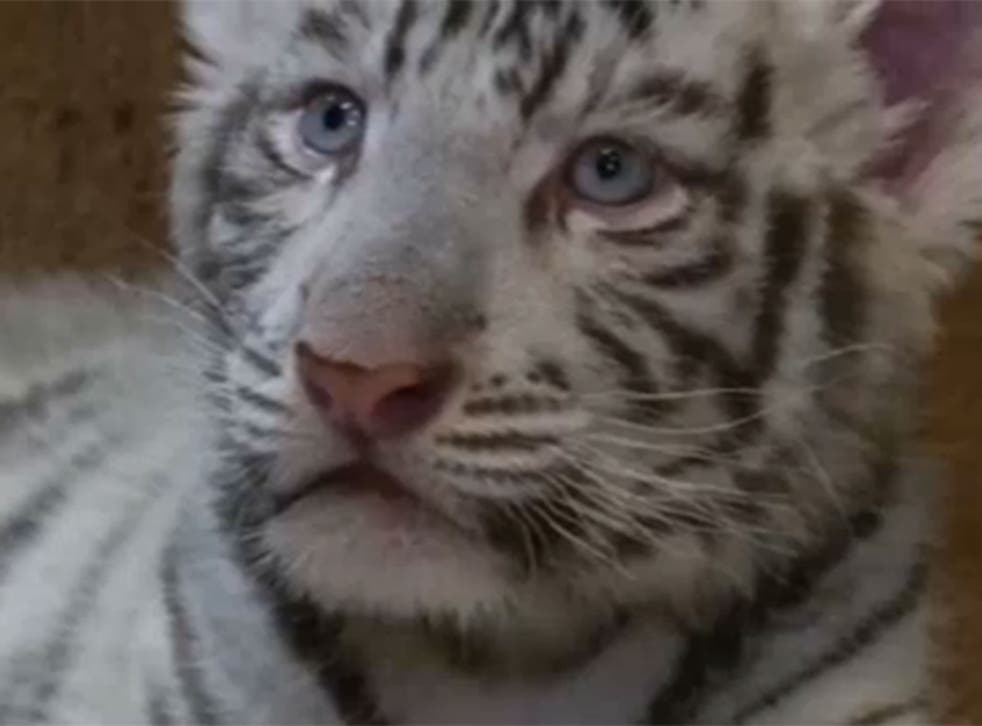 One of the baby white tigers before getting vaccinated (ITN)
