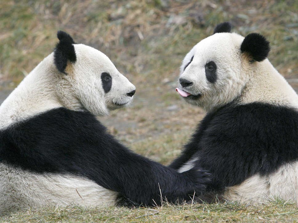 giant pandas are sociable scientists find after tracking group for