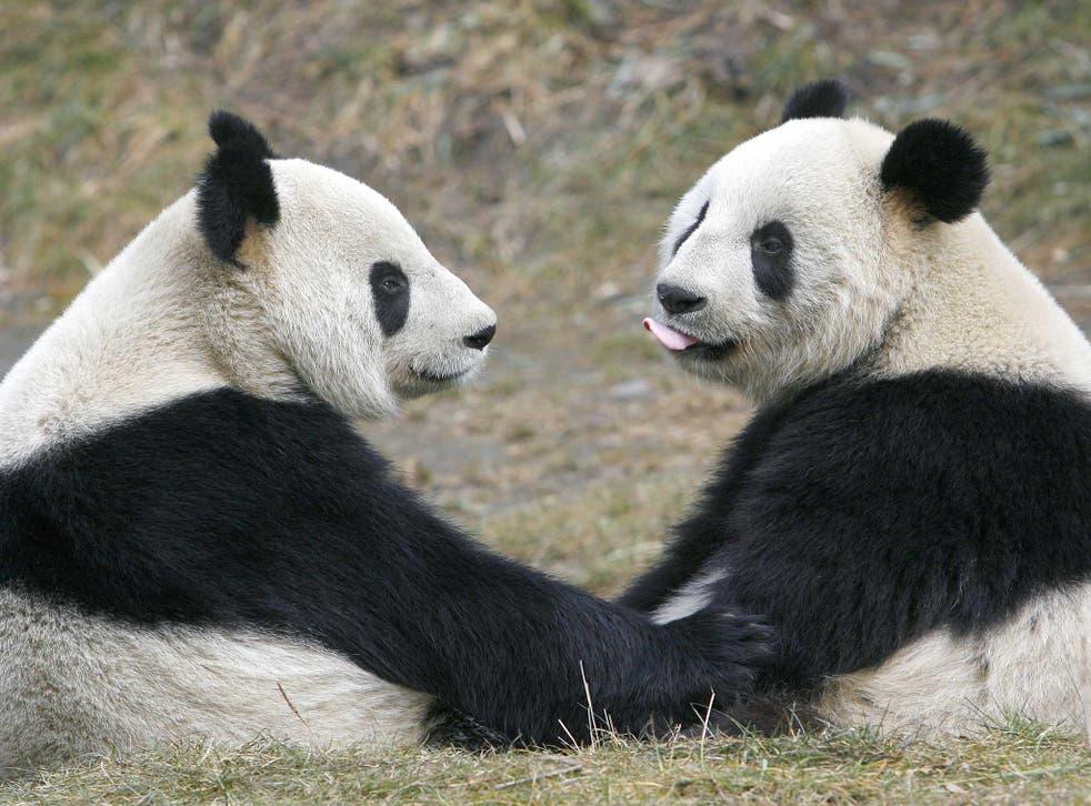 Pandas may be more sociable than previously thought