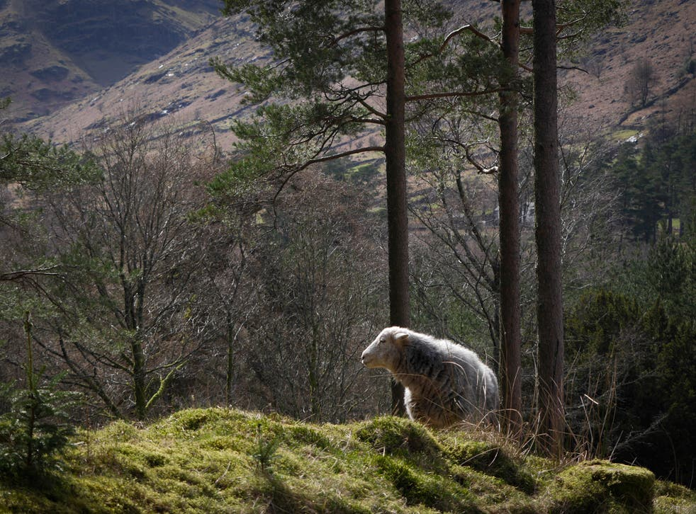 The ability of Herdwick sheep to graze freely and find shelter by themselves could be disrupted by plans to erect a six-mile fence around 866 hectares of land above Thirlmere reservoir