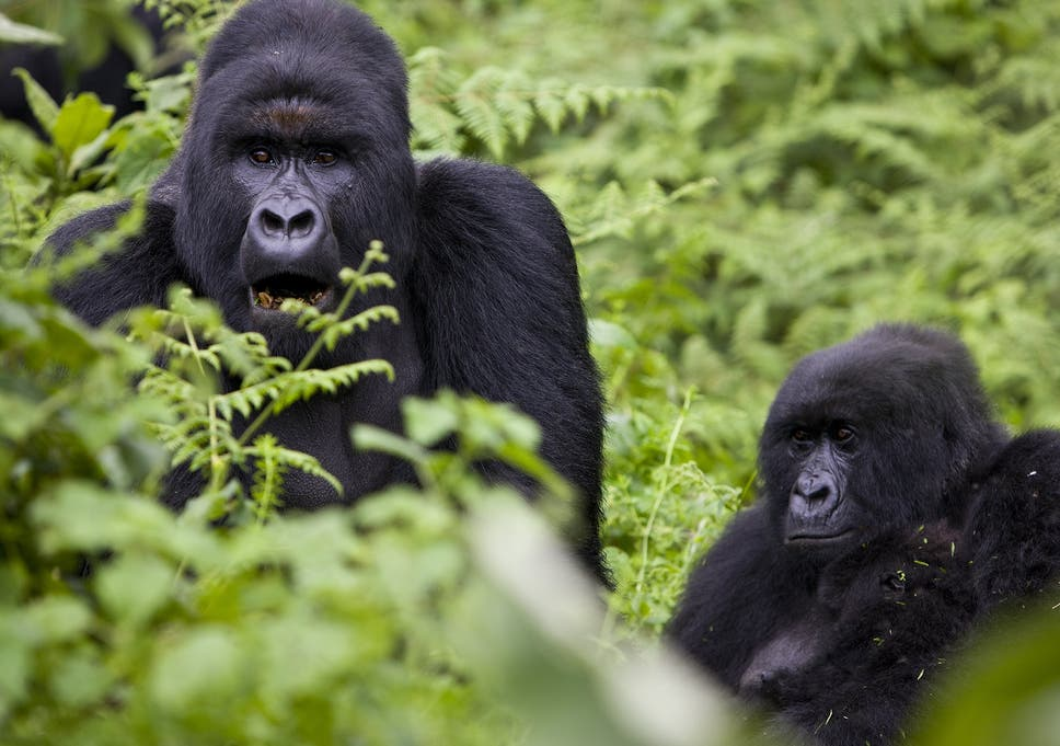 Mountain Gorillas Could Survive For Thousands Of Years At
