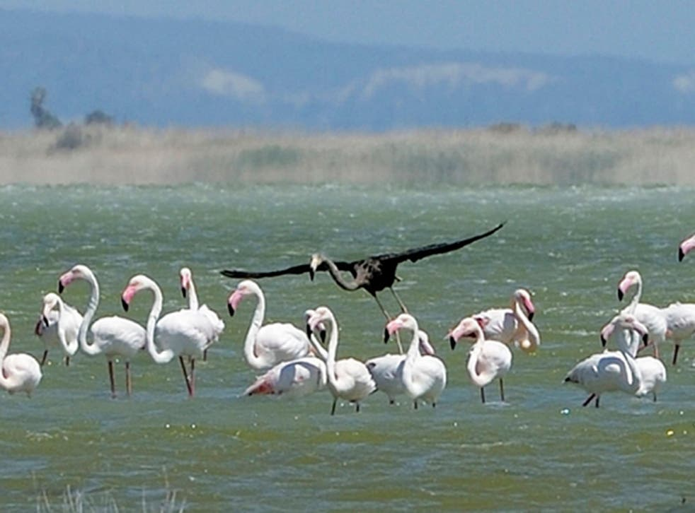 This is potentially the only black flamingo in the world (AP)