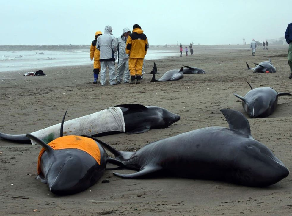 Residents attempt to save melon-headed whales beached on the shore of Hokota city, northeast of Tokyo