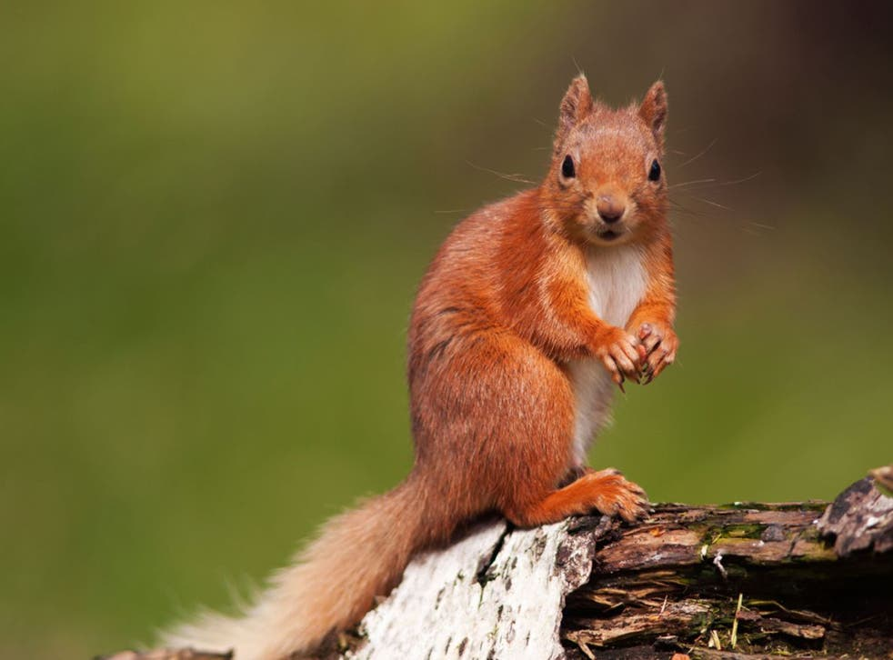Immigration watch: Are red squirrels 'good'? (Al