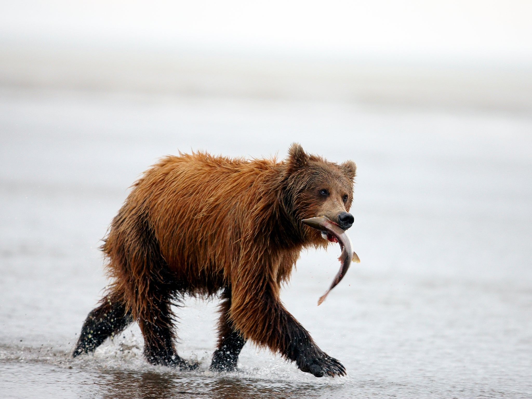 Brown bears choosing a vegetarian diet over salmon due to climate change