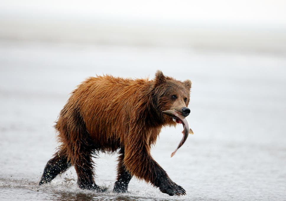 brown bears choosing a vegetarian diet over salmon due to climate