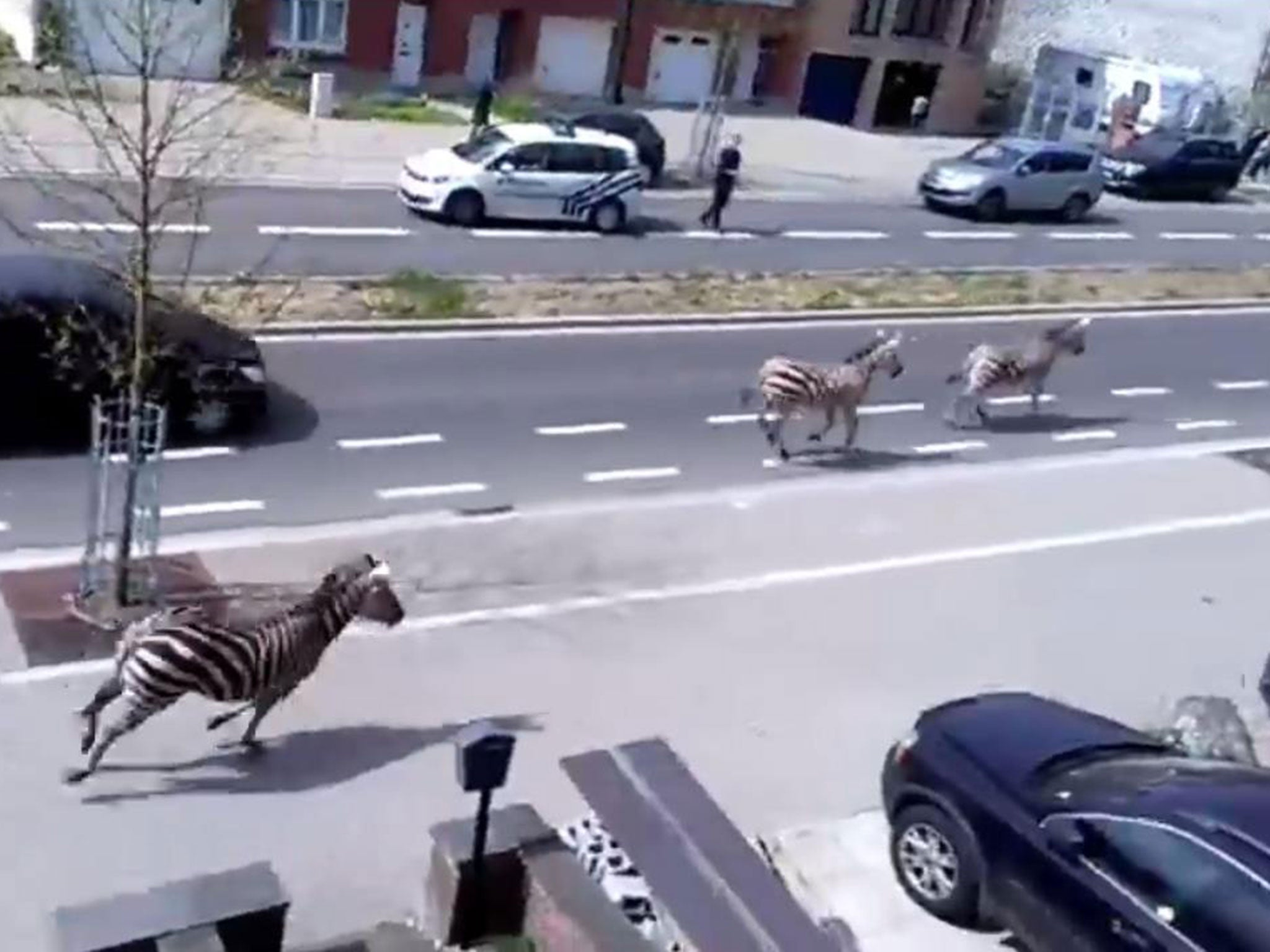 These zebras were on the run in Brussels today