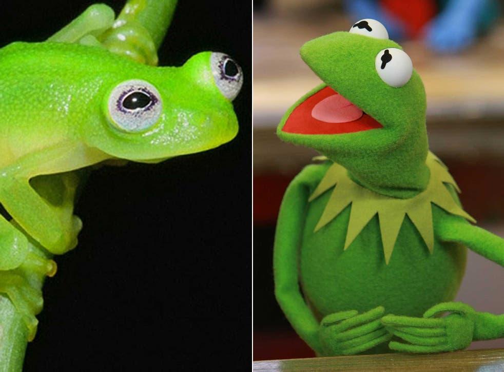 Kermit and his doppleganger Hyalinobatrachium dianae