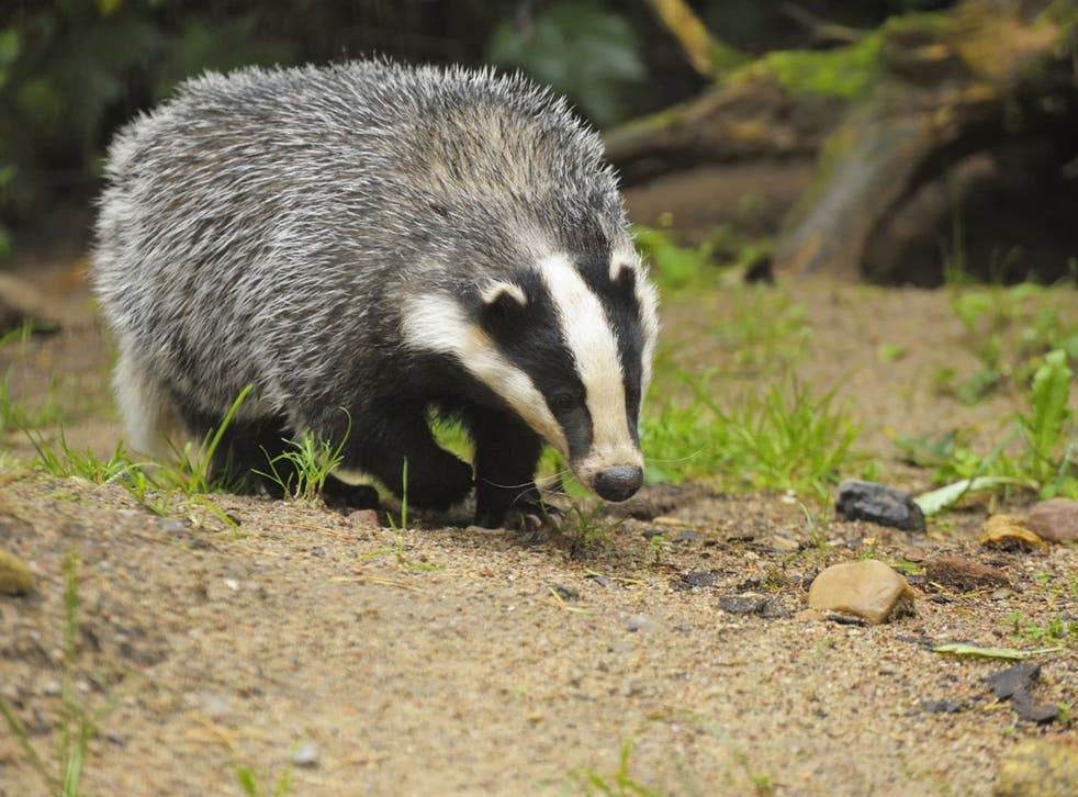Badgers are being killed