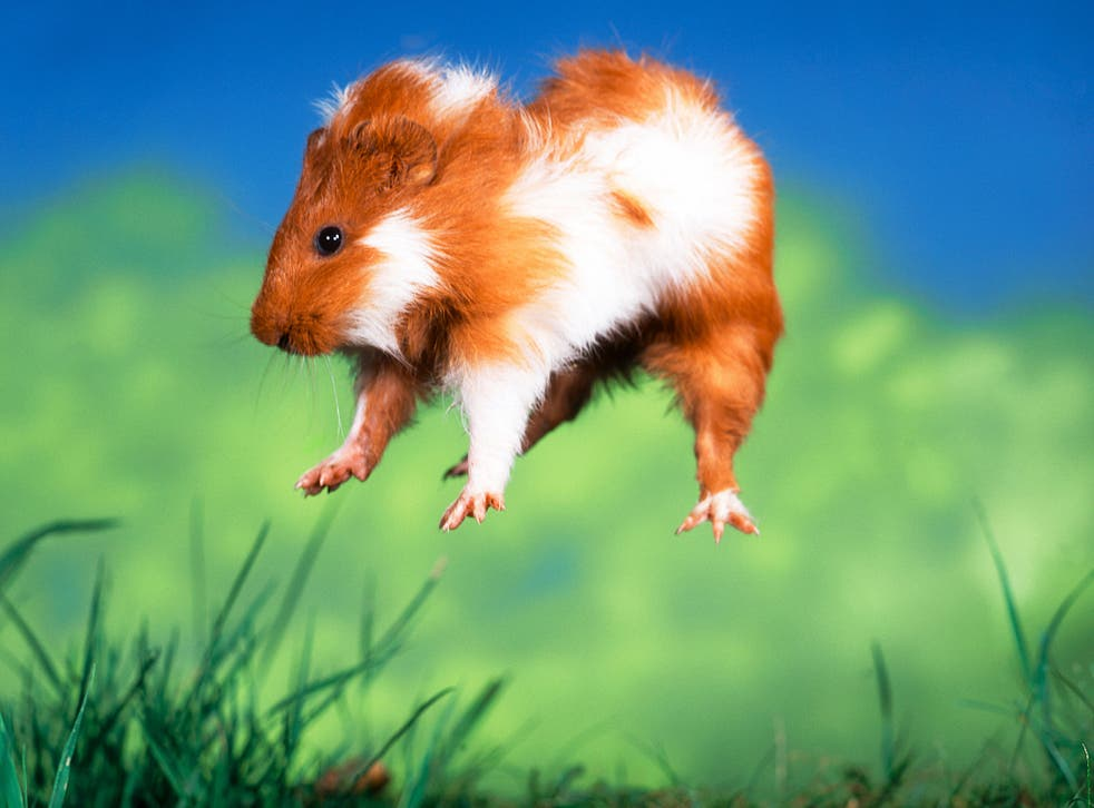 Animal behaviour experts suspect 'popcorning' guinea pigs really are jumping for joy