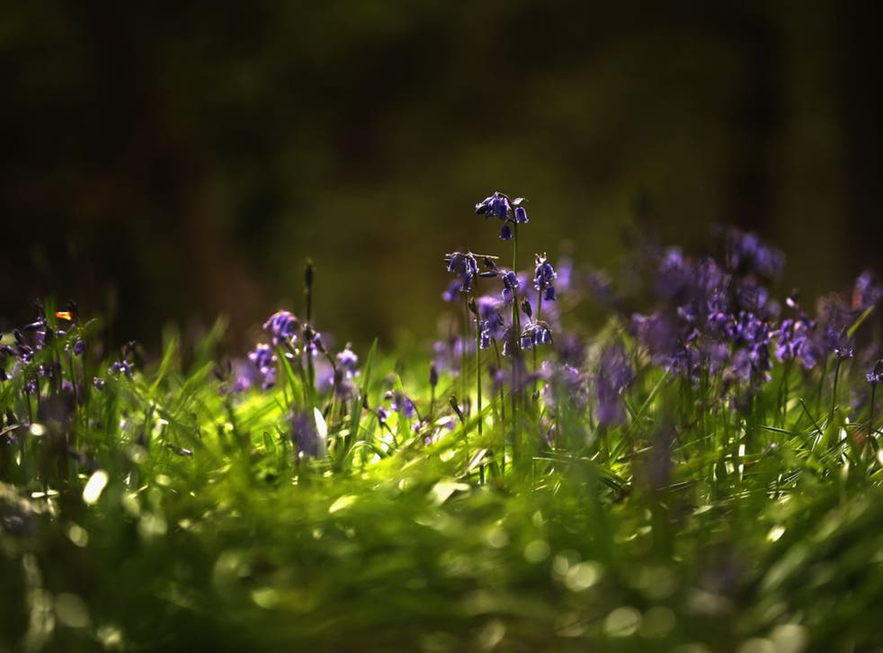 English bluebells are in bloom now, and can crossbreed with others