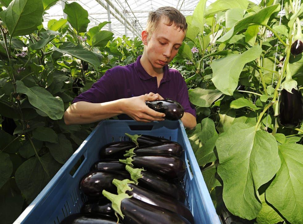 A harvest helper cuts eggplants on April 24, 2009 in Gravenzande near Amsterdam