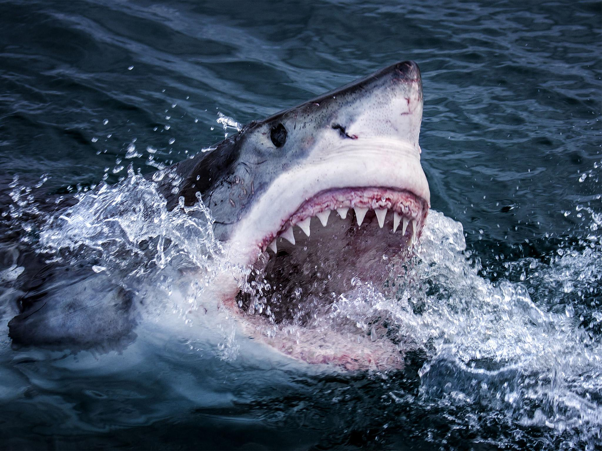 Shark facts the fearsome fish in numbers the independent for Are sharks fish