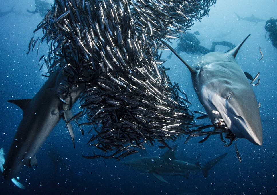 5518aa91059d9 Hundreds of Oceanic Blacktip sharks gather together to attack a shoal of  anchovy off the coast