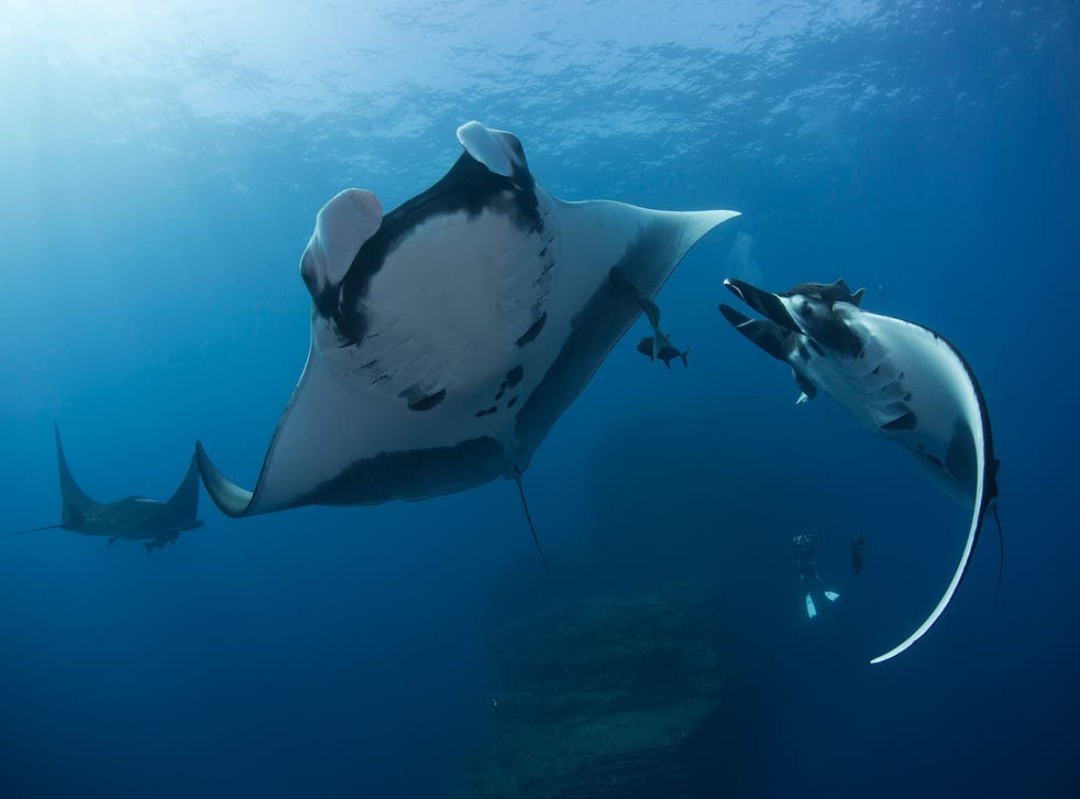 Giant Manta Rays can be up to 7 metres across and travel the oceans feeding on plankton