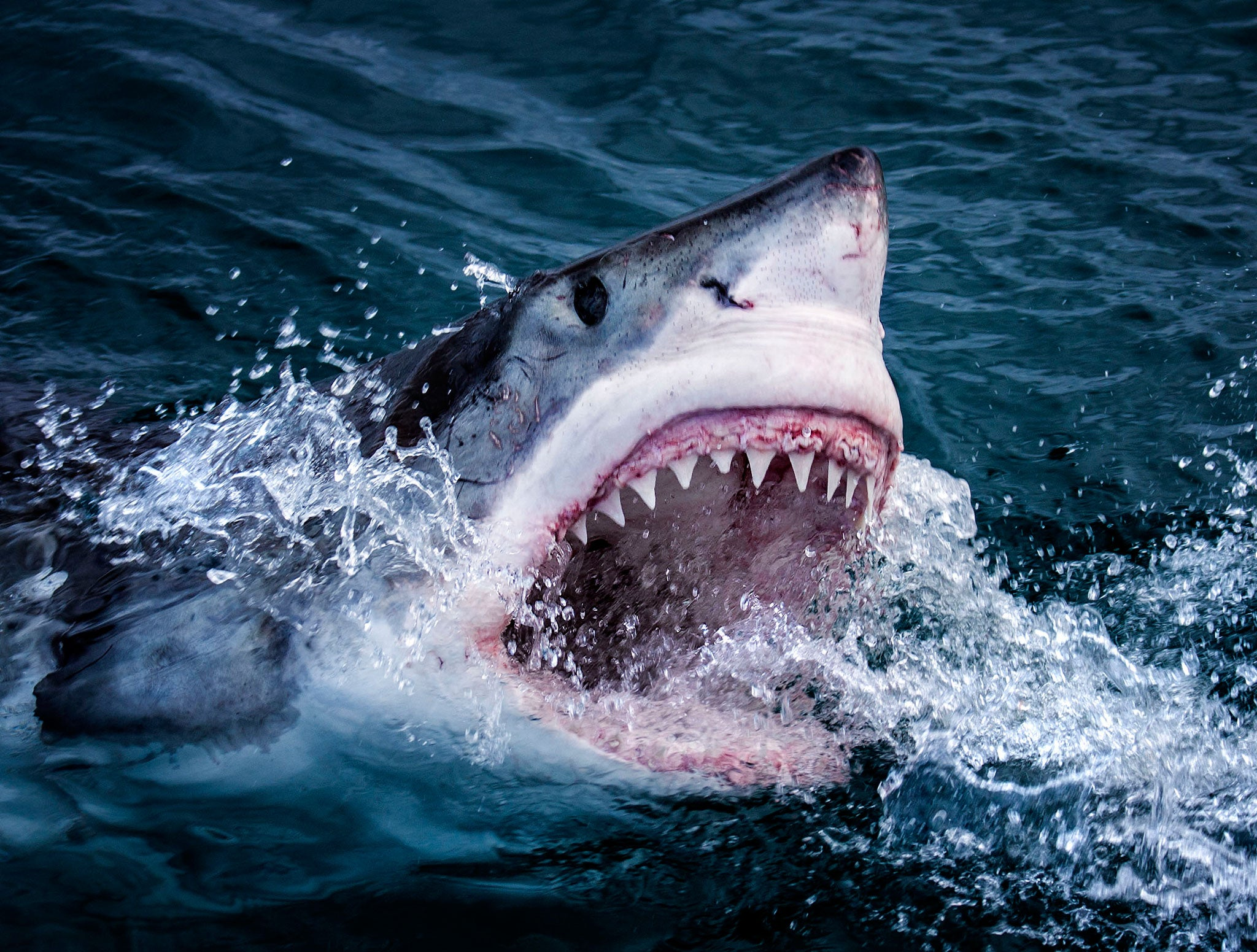 Great white sharks - the misunderstood giants with a softer