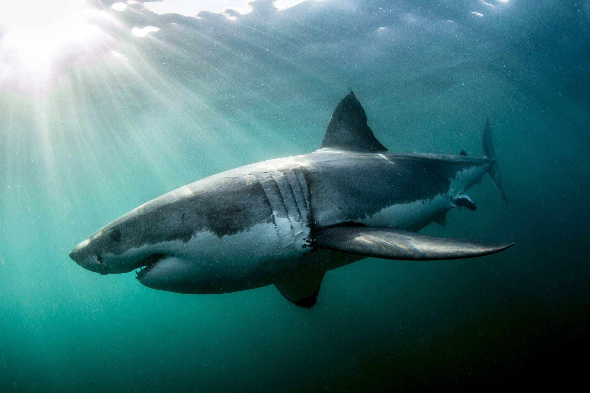 Images Of Sharks South African f...