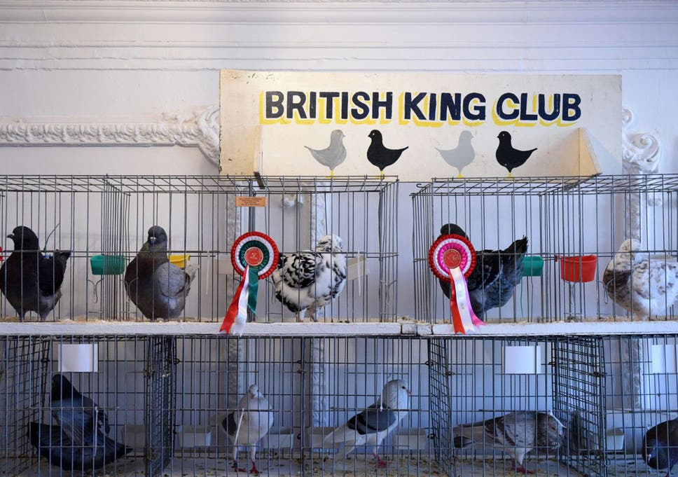 Pigeon fanciers and the RSPB wage battle in the skies over