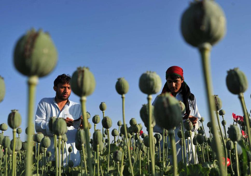 The deadly blooms of helmand afghan farmers turn to the opium crop the area under cultivation for poppies is rising as afghan farmers can get up to 12 mightylinksfo