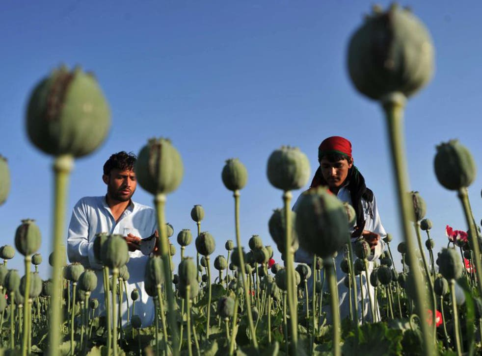 The area under cultivation for poppies is rising as Afghan farmers can get up to 12 times more for the crop than they can for growing cereals or vegetables