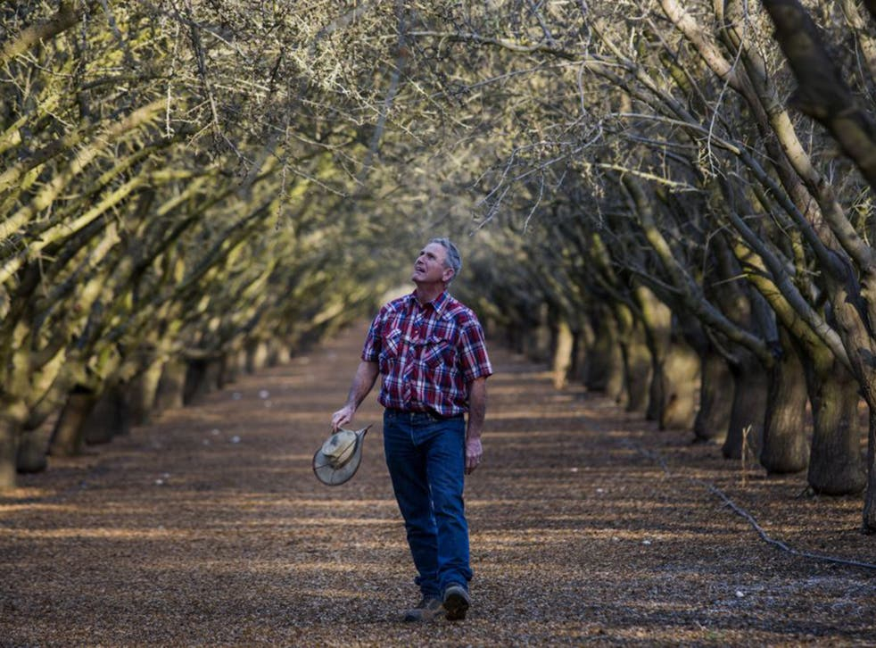 Bill Diedrich examines almond trees at his drought-hit farm  in Firebaugh, California