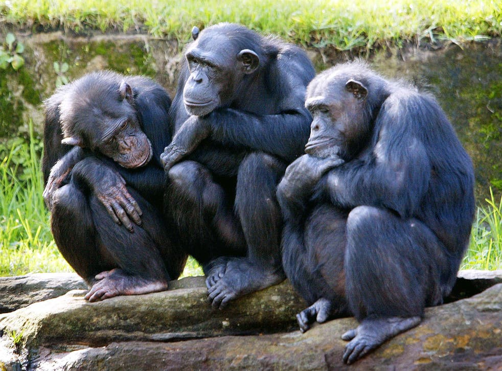 Ballot monkeys: chimpanzees need friends in order to become leaders
