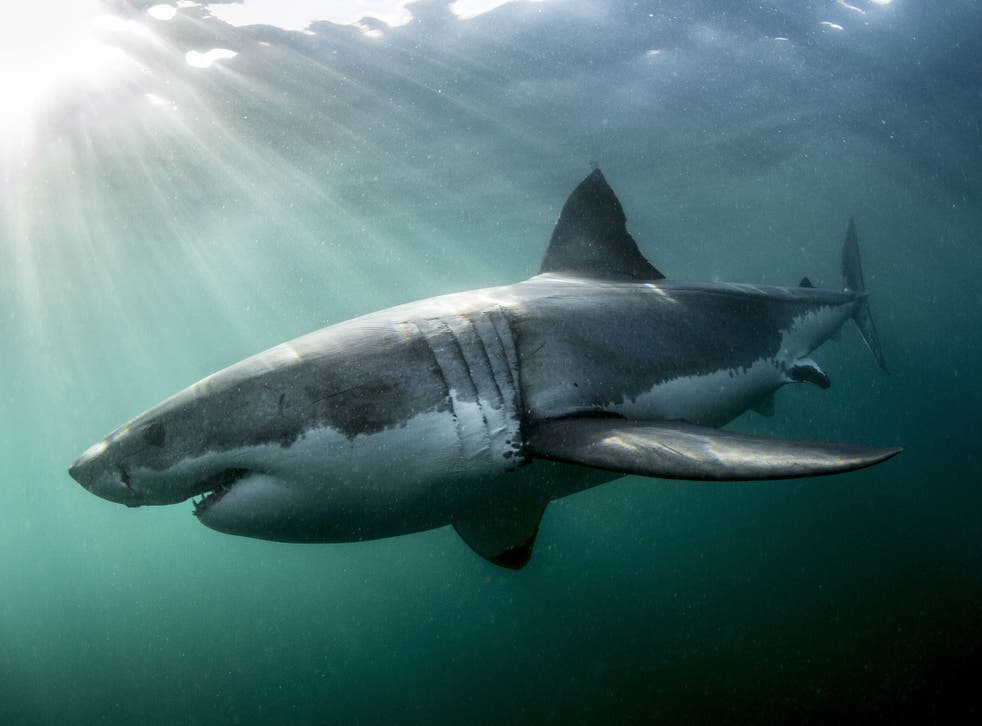 A programme with bite: 'Shark' was a credit to the BBC's nature department
