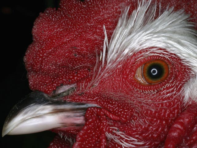 Counting one's chickens: more then 20 billion chickens live on our planet, three for every human