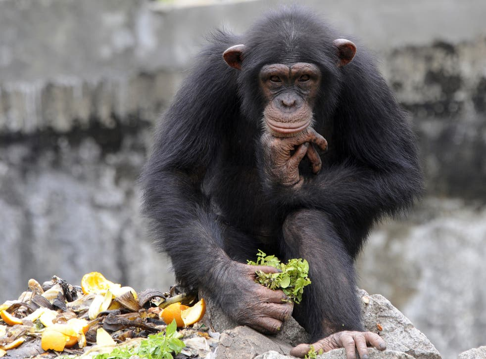 The case involves two chimps being held at a university