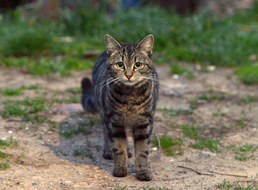 A tabby cat similar to the pet that went missing in Australia for 7 weeks