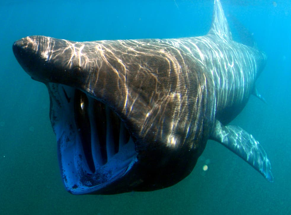 The project aims to discover valuable information about the behaviour of these huge but elusive sharks – such as their diving habits, where they feed and their migration patterns