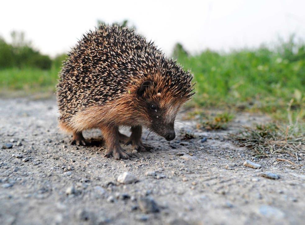 Hedgehog are under threat from decreasing habitats