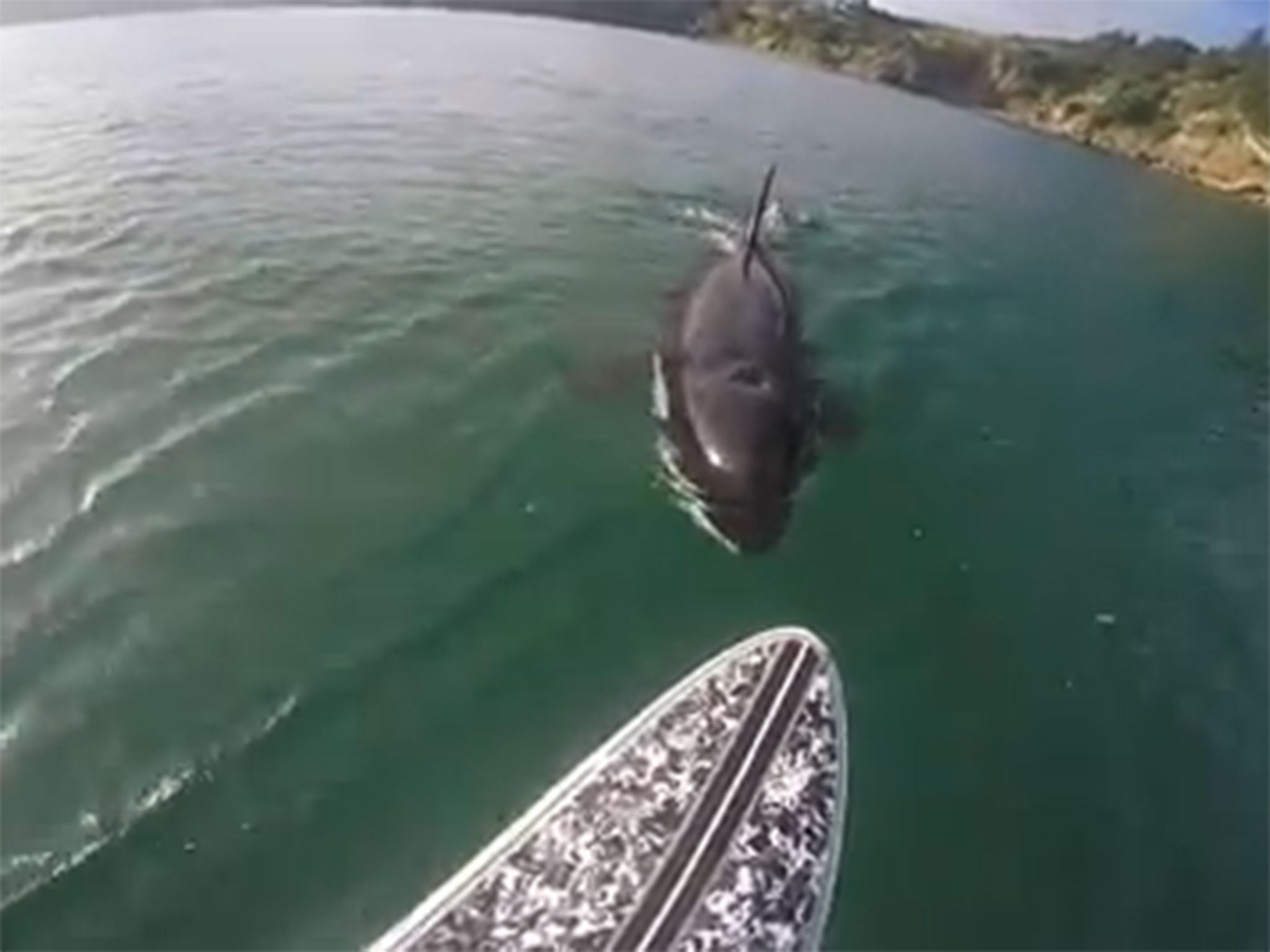 paddle boarder gets shock of his life when killer whale takes a
