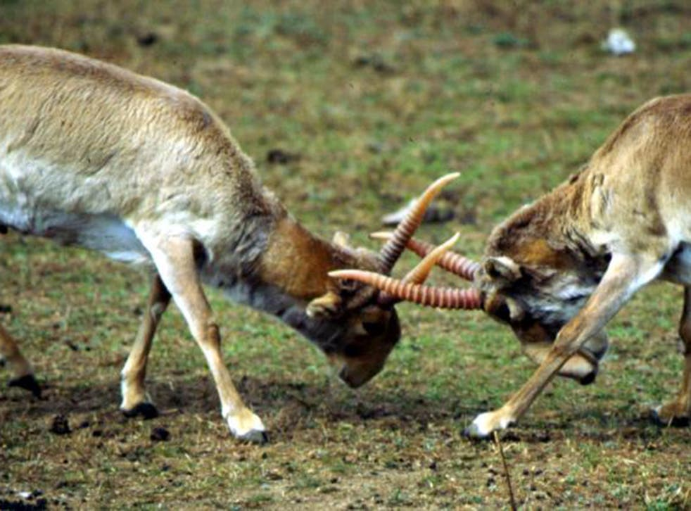 Around one-third of the saiga antelope have died in the past few days