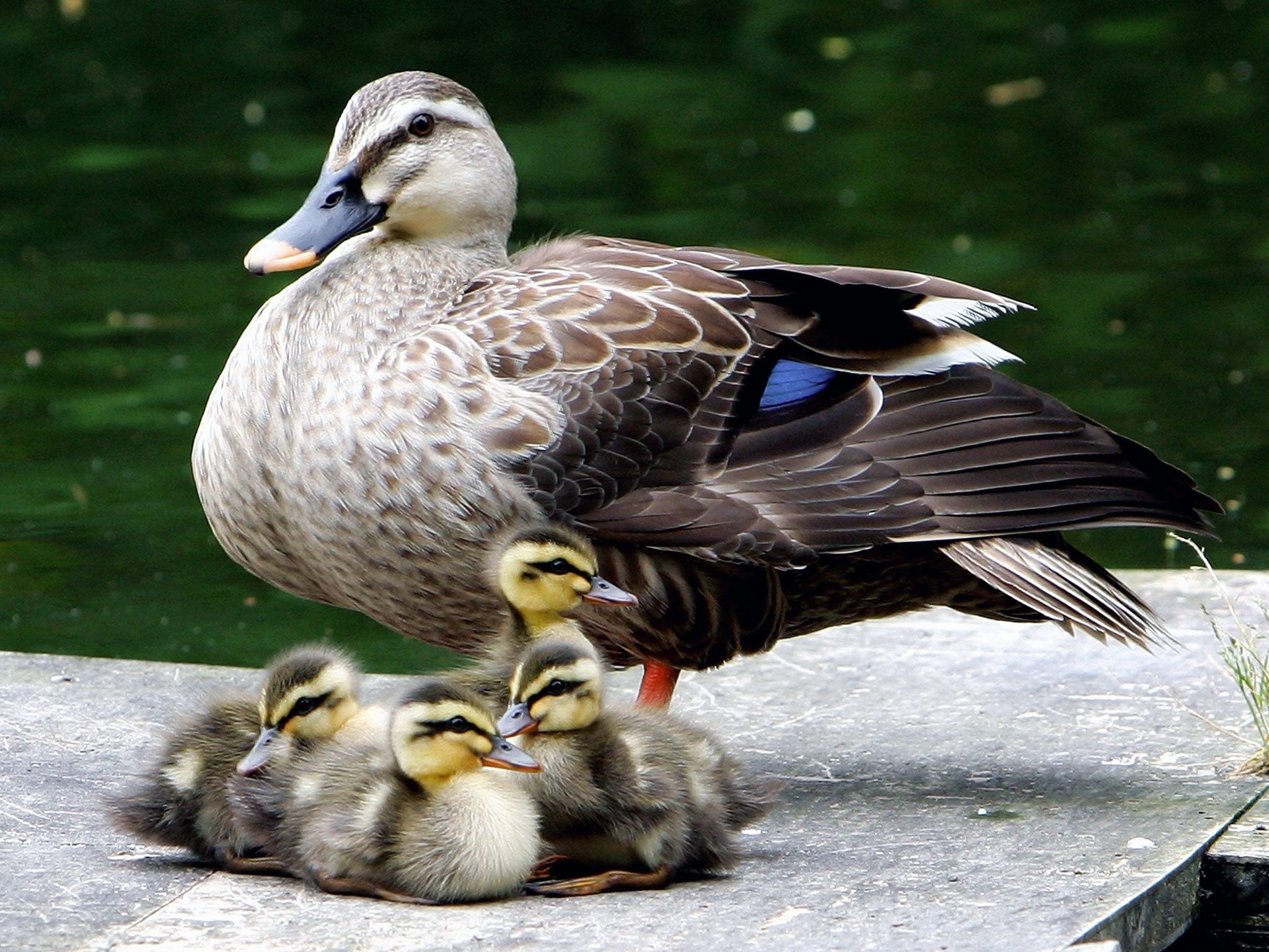 Baby Duck Drink