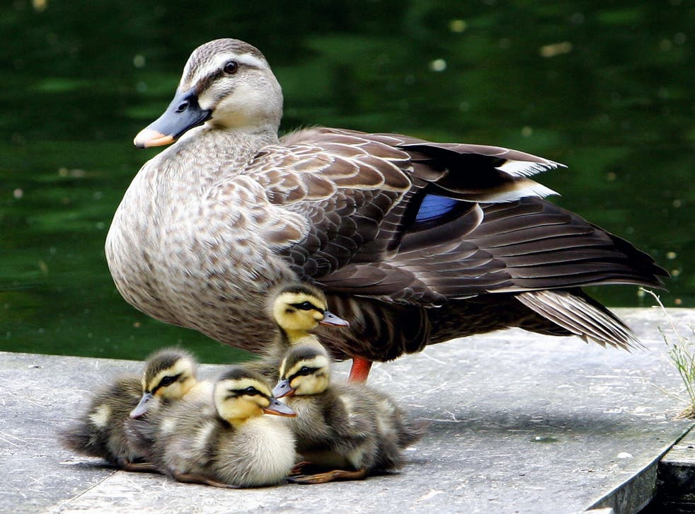 Young ducklings rest by a lake with their mother at Mukoujima Hyakkaen Garden on May 18, 2007 in Tokyo, Japan. Every year Mukoujima Hyakkaen Garden, which means Garden of a Hundred Flowers, sees ducks return in the autumn to raise their young.